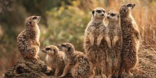 meerkat_family-317x159